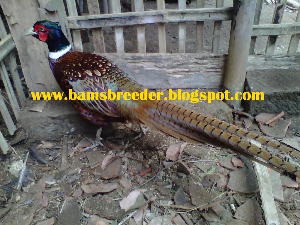 jual ayam ring neck pheasant