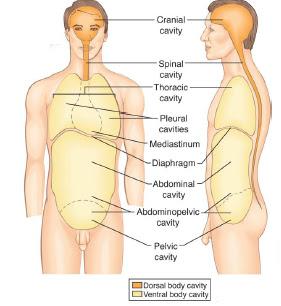 bodycavities.bmp central body cavity diagram wiring diagrams for dummies \u2022