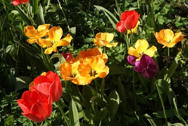 Aufgeblühte Darwin-Tulpen Golden Apeldoorn und Red Impression