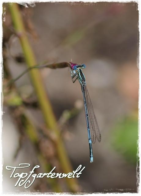 Libelle am Miniteich