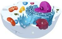 ما هو الريبوسوم - (تعريف - اين يوجد - مكونات - وظيفة)