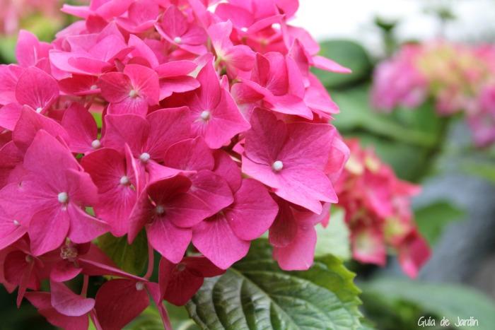 Rosa O Azul Como Hacer Que Una Hortensia Cambie De Color Guia De - Color-hortensia