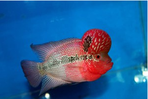Ikan Hias Air Tawar Termahal Super Red Dragon