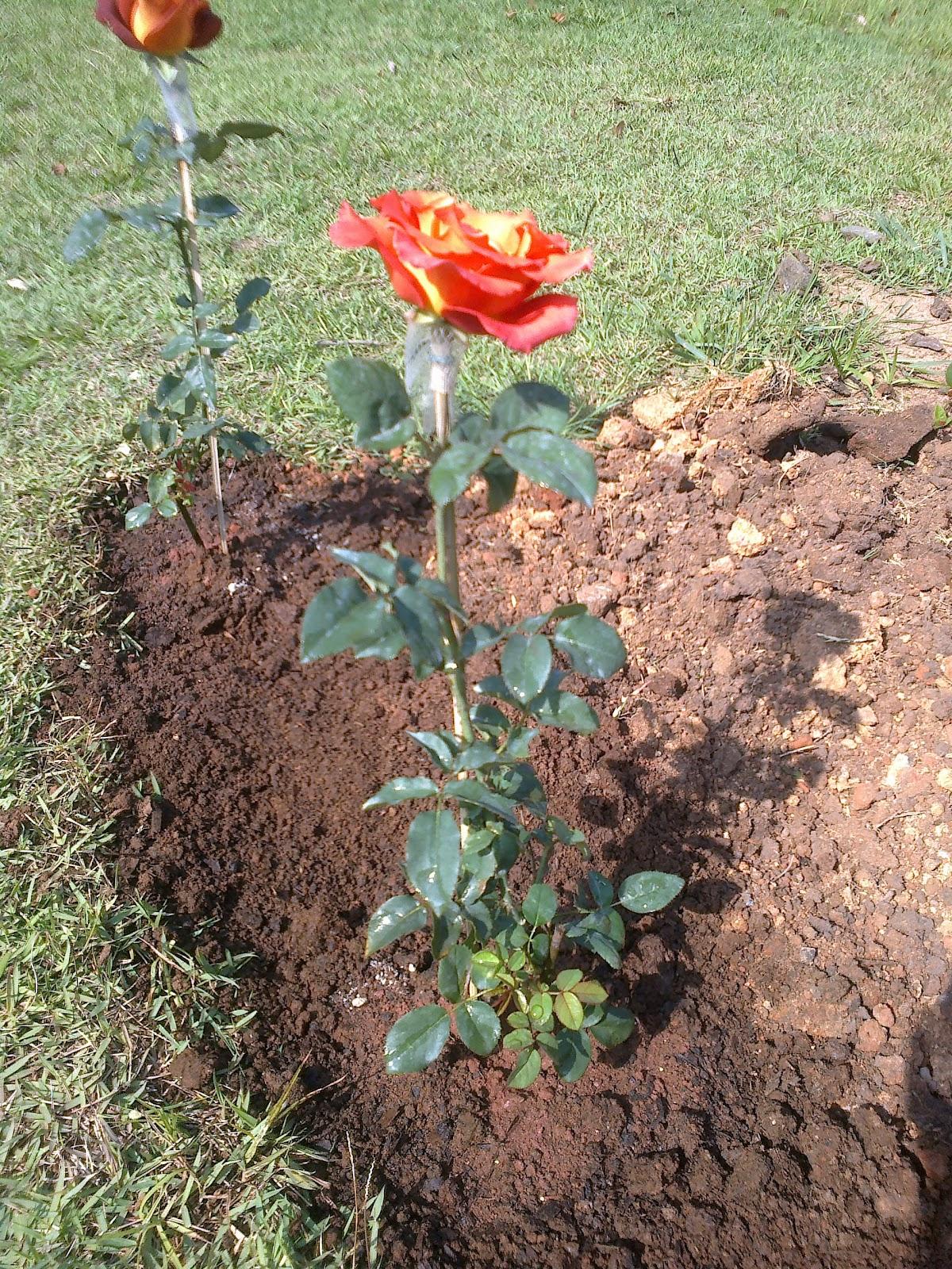 Populares Jardim da Terra: COMO CULTIVAR: Como fazer mudas de rosas IP39
