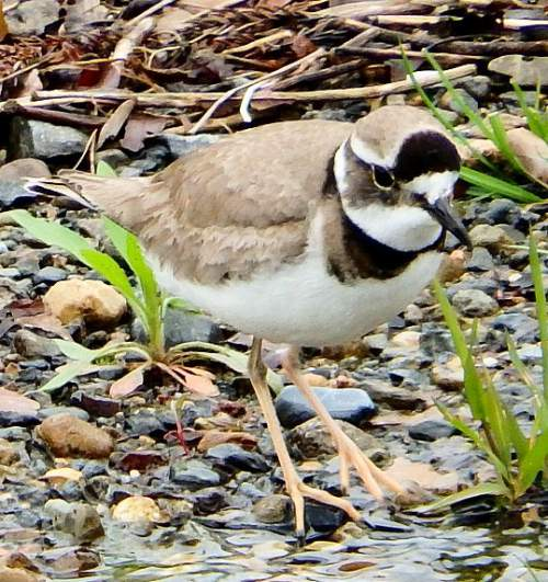 Long-billed plover - Charadrius placidus