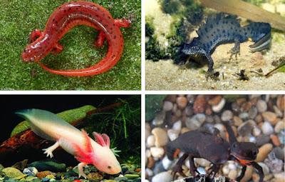 610 Gambar Dan Penjelasan Hewan Amfibi Gratis Terbaik