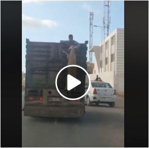 بالفيديو لص يسرق خروفا من شاحنة وهي تسير بالمغرب