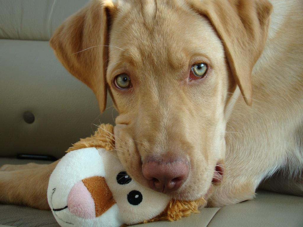 6000747842 7777d040e4 b Are Pitbull Lab Mixes Good Dogs