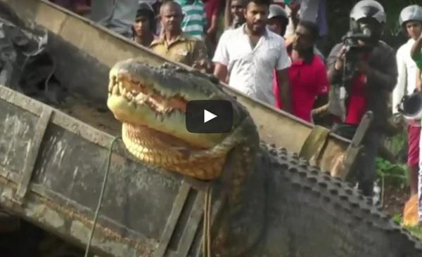 Video : Penemuam Buaya Seberat 1 Tan Menggemparkan Penduduk Sri Lanka