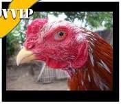 harga ayam super