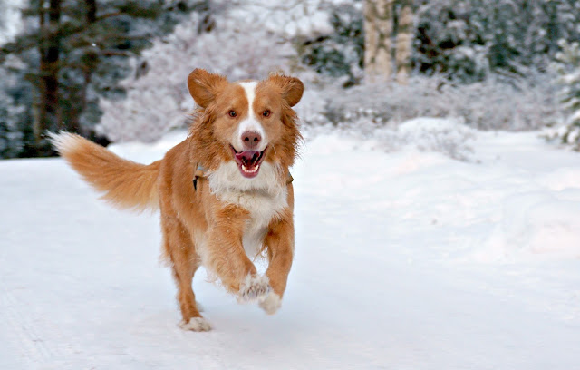 Playful Duck tolling retriever names