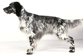 Everything about your English Setter