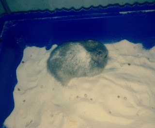 Cara Memandikan Hamster Dengan Pasir dan Bedak Bayi
