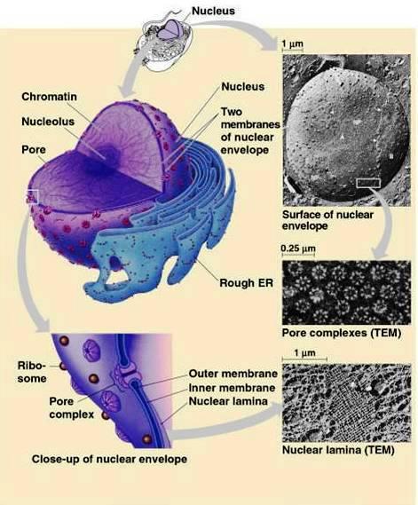 nucleus ultra structure biology exams 4 u. Black Bedroom Furniture Sets. Home Design Ideas
