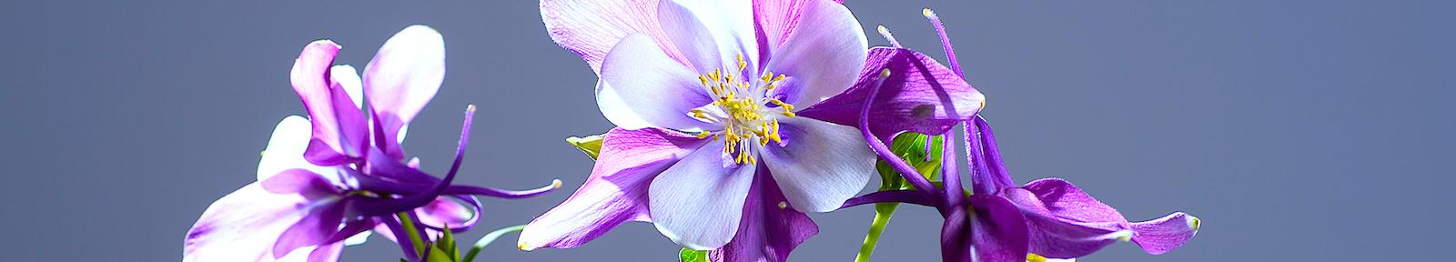 Цветение аквилегии обыкновенной (Aquilegia Vulgaris) для праведного Иова Многострадального.