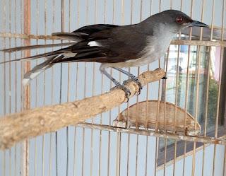 Daftar-harg-jenis-burung-murai-batu-terbaru-2019