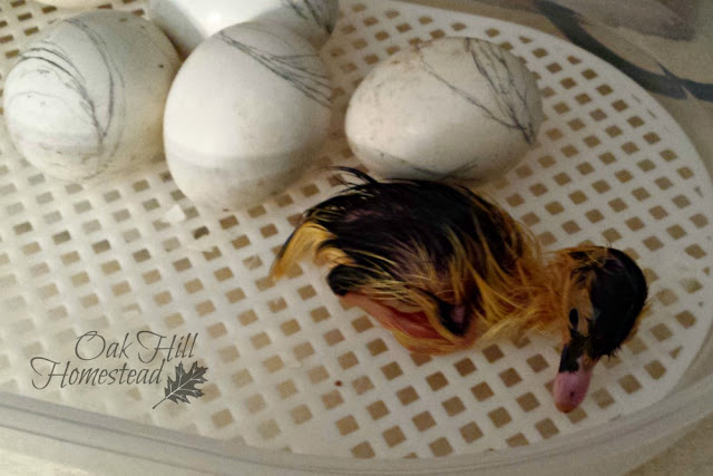 The first duckling has hatched!