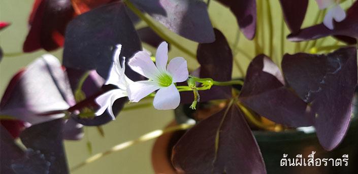 ดอกต้นผีเสื้อราตรี