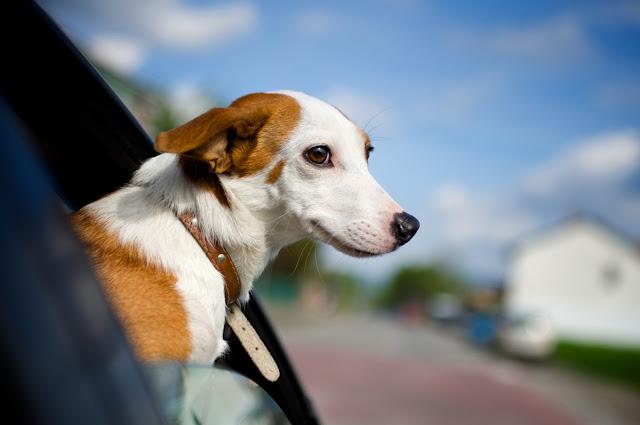 coche perro conducir taller