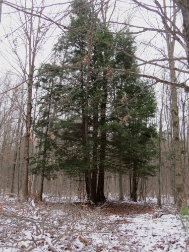 clump of hemlock trees