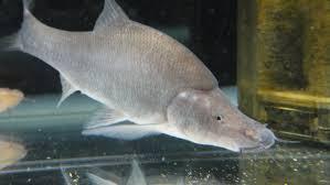 Sinocylocheilus microphthalmus or Small Eye Golden-line Fish