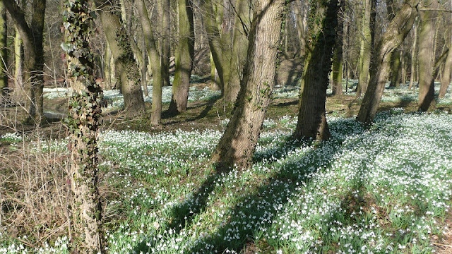 Snowdrops carpet an Ancient English woodland floor