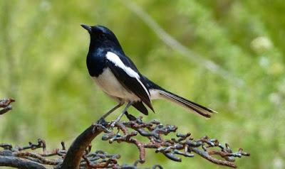 Cara Merawat Burung Kacer Muda Agar Bisa Cepat Ngobra Dan Gacor Paling Akurat
