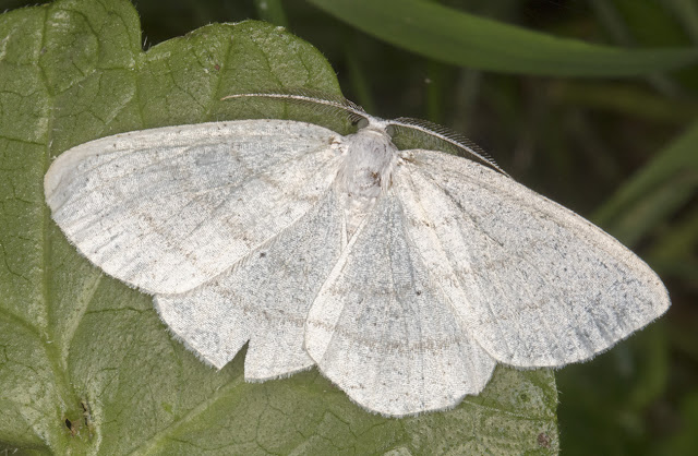 Common White Wave, Cabera pusaria.  Sevenoaks Wildlife Reserve, 26 August 2017.