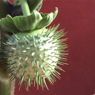 Datura stramonium fruto
