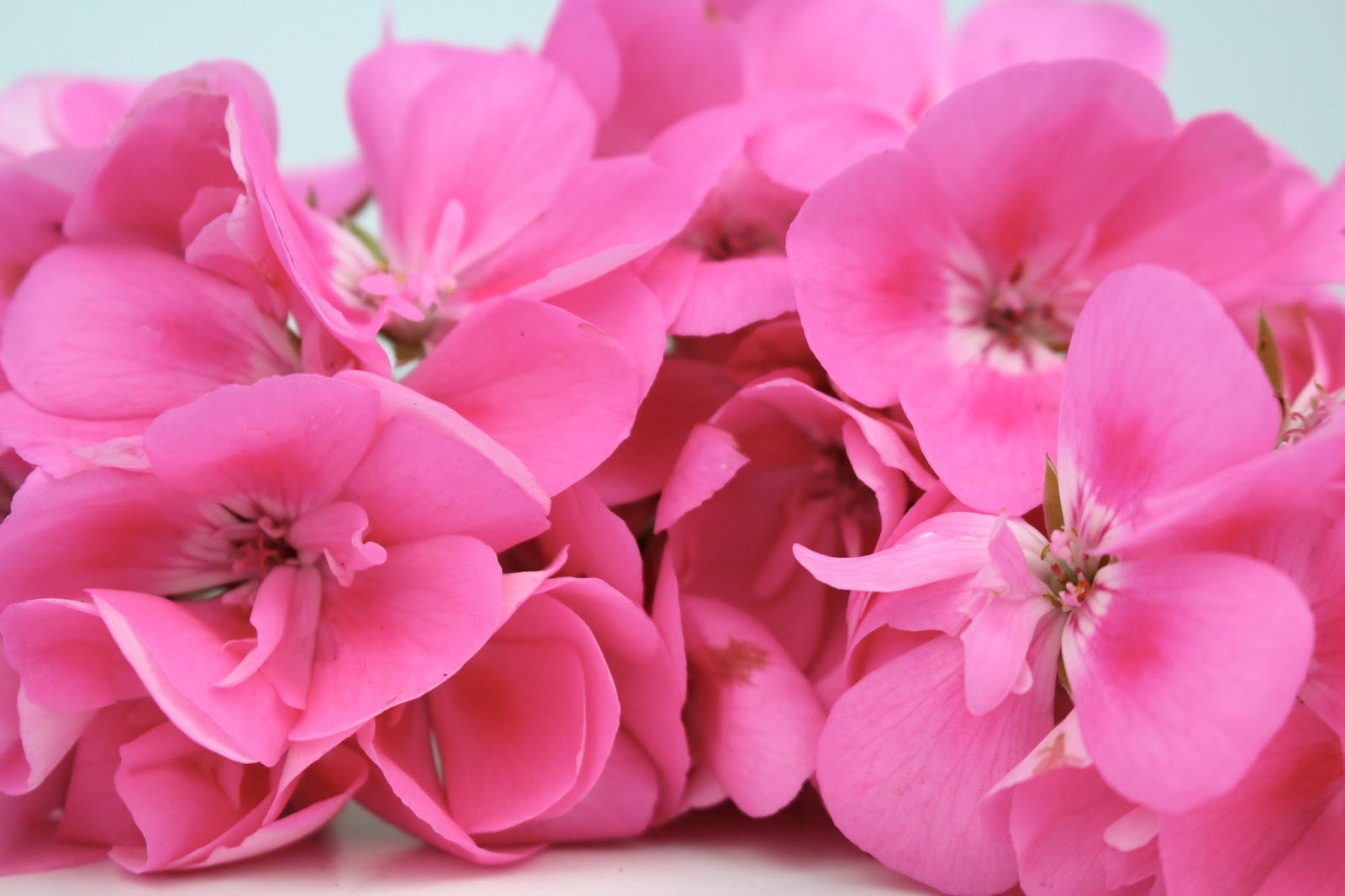 Close up of bunch of beautiful pink flowers