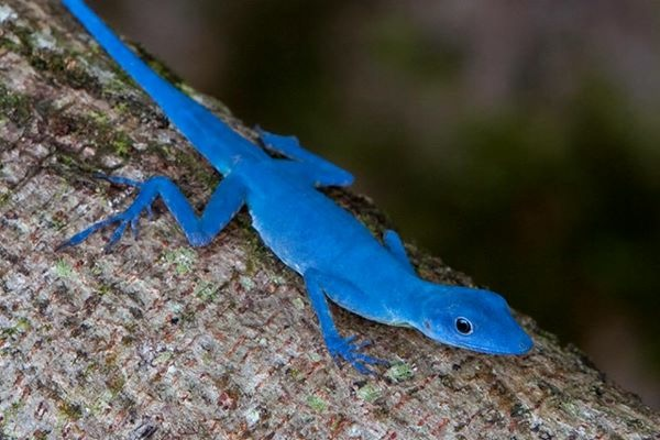 Lagarto Azul de Gorgona (Anolis gorgonae)