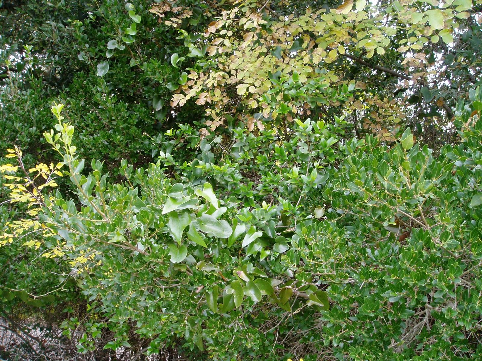 Arbusti e piante macchia mediterranea for Arbusti sempreverdi