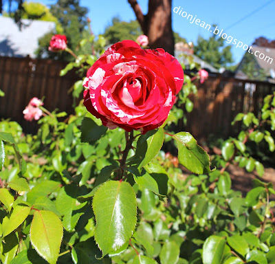 Pretty red and white rose