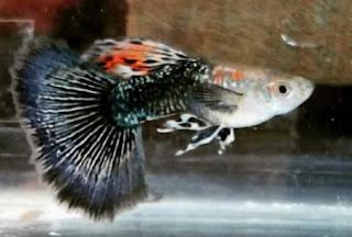 Jenis ikan guppy cobra