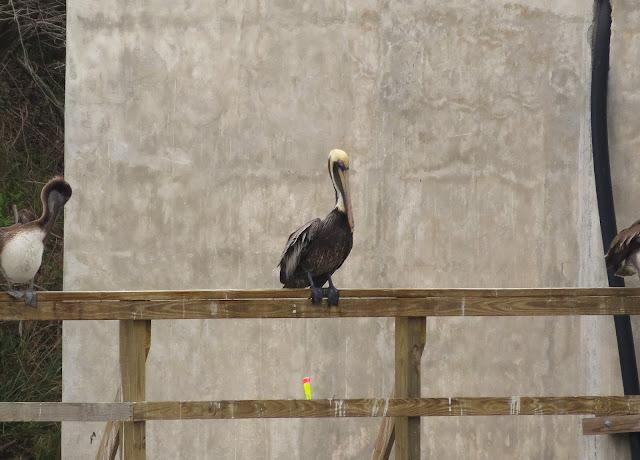 Brown Pelican - Merritt Island, Florida