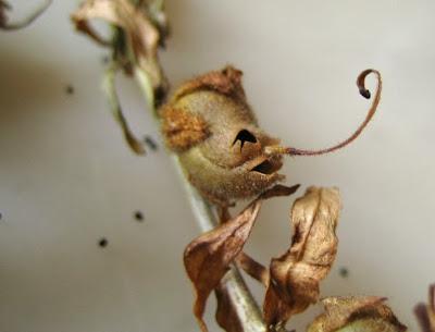 bunga mulut naga Snapdragon, Bunga Ini Akan Berubah Menyerupai Tengkorak Manusia Saat Layu