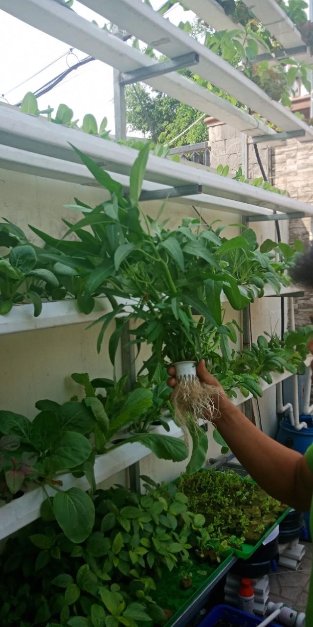 cách trồng rau muống thủy canh