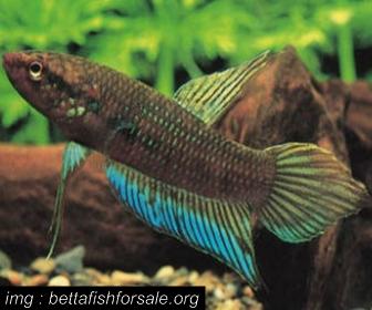 Jenis Ikan Cupang liar Spesies Betta Dimidiata