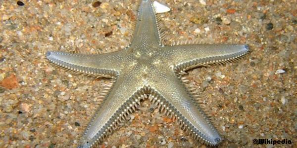 Gambar Bintang laut ordo Paxillosida
