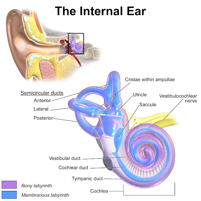 Ear Canal Function Diagram Coordstudenti
