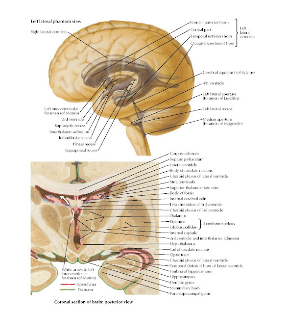 Ventricles of Brain Anatomy