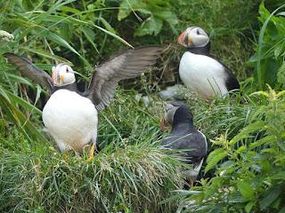 Macareux moine - Fratercula arctica - Perroquet de mer