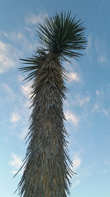 A JOSHUA Tree frim palm desert California