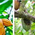 Strange Larvae Attacks Over 5,000 Cocoa Farms In Irruan