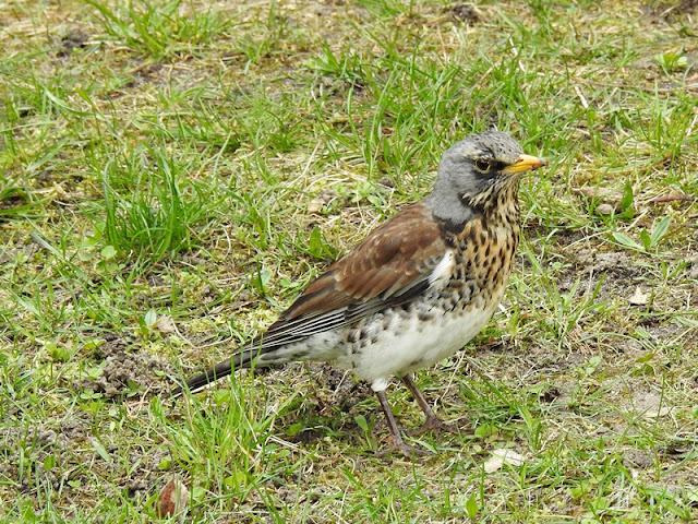 Ptak uchwycony na trawie.