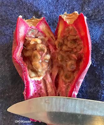 Cut open Opuntia tuna