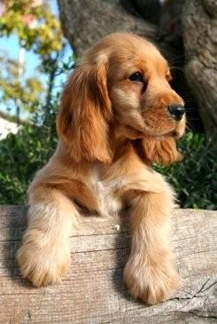 Everything about your Cocker Spaniel