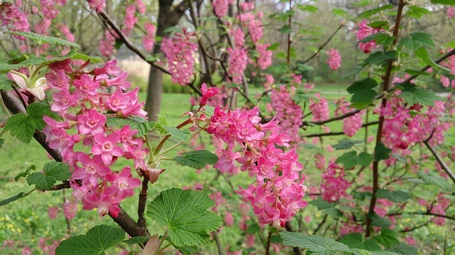 How and when do I prune my flowering currant