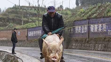 Aneh Pria Tua Menunggangi Babi Seperti Kuda di Jalan Raya