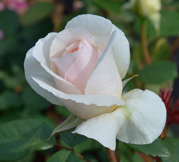 Julia Renaissance сорт розы фото